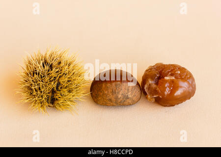 the chestnut husk becomes maturing from green to dark brown and contains the chestnut , which worked becomes marron - Stock Photo