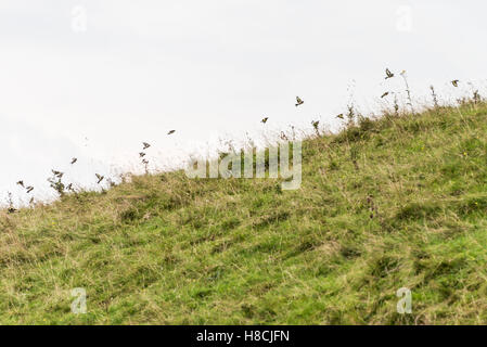 A flock of goldfinches (Carduelis carduelis) flying along the crest of a hill on the Marlborough Downs, Wiltshire - Stock Photo