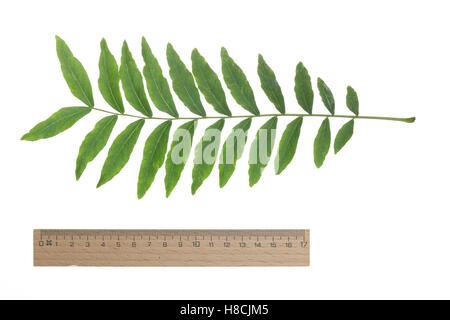 Amerikanische Gleditschie, Gleditsia triacanthos, Lederhülsenbaum, Falscher Christusdorn, honey locust, thorny locust, - Stock Photo