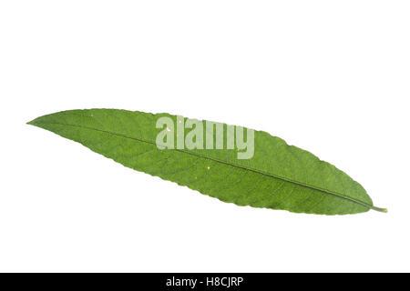 Korb-Weide, Korbweide, Hanf-Weide, Weide, Salix viminalis, basket willow, common osier, osier, Le saule des vanniers, - Stock Photo