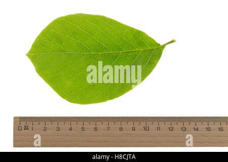 Magnolie, Yulan-Magnolie, Magnolien, Magnolia denudata, lilytree, Yulan magnolia, Magnolia Yulan. Blatt, Blätter, - Stock Photo