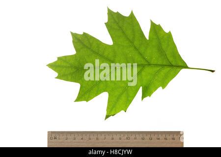 Roteiche, Rot-Eiche, Amerikanische Spitzeiche, Quercus rubra, Quercus borealis, northern red oak, champion oak, - Stock Photo