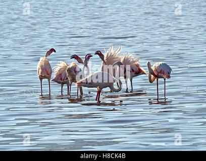 fluffy Greater flamingo trio (Phoenicopterus roseus) displaying in shallows of Lake Bogoria Kenya Africa in soft - Stock Photo