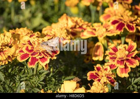 Moth investigating flower in garden. - Stock Photo