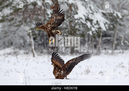 Two white-tailed eagles / white-tailed sea eagles / ernes (Haliaeetus albicilla) taking off after fighting in the - Stock Photo