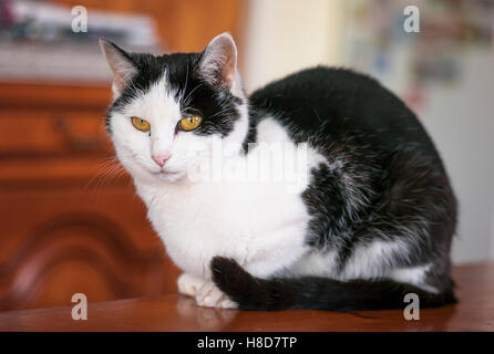 Black and white cat indoors on a table - Stock Photo