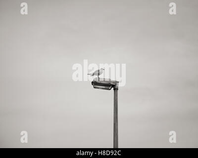 seagull landing sitting on a lamp post / streetlight in black and white - Stock Photo