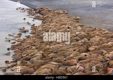 Huge Atlantic walrus (Odobenus rosmarus rosmarus) asleep on each other among beach. Hear roars of beasts - Stock Photo