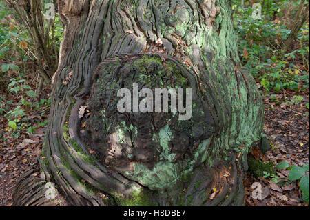 dead oak hulk in Sherwood Forest - Stock Photo