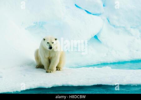 Polar Bear (Ursus maritimus)  On Pack Ice, Arctic  WILD - Stock Photo