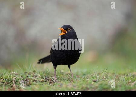 Common Blackbird / Amsel ( Turdus merula ), black male, sitting on the ground, singing, courting, open beak, bill, - Stock Photo
