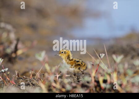 Young Red-necked Phalarope (Phalaropus lobatus) hiding among the willow - Stock Photo