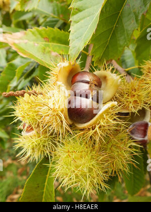 chestnuts growing on a tree - Stock Photo