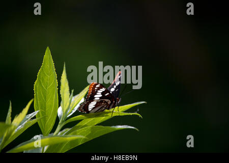 Lorquin's Admiral butterfly on plant - Stock Photo