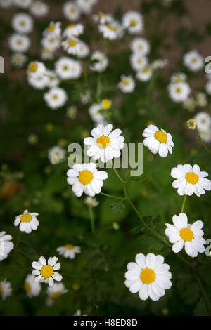 Kyrgyzstan - Typical Marguerite flowers near lake song kol  -  Travel people Central Asia - Stock Photo
