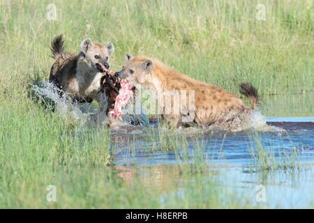 Spotted Hyena (Crocuta crocuta) two adults, fighting for food in water, Maasai Mara national reserve, Kenya - Stock Photo