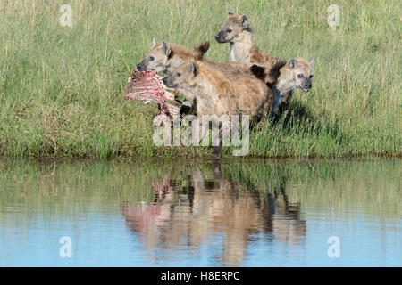 Spotted Hyena (Crocuta crocuta) two adults, fighting for food with reflection in water, Maasai Mara national reserve, - Stock Photo