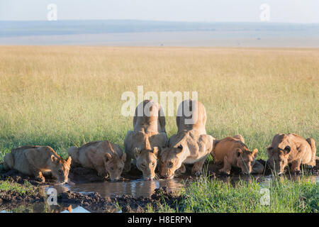 Lion (Panthera leo) pride drinking at a waterhole in the Masai Mara National Reserve, Kenya - Stock Photo