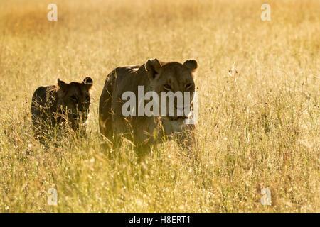 Lion (Panthera leo) adult female and cub walking on savanna at sunrise, Masai Mara Game Reserve, Kenya - Stock Photo