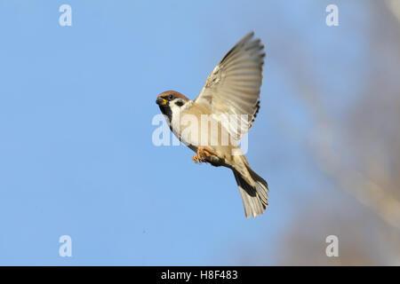 Flying Eurasian Tree Sparrow (Passer montanus) in autumn. Moscow region, Russia - Stock Photo