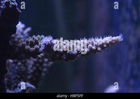 acropora Coral - Stock Photo