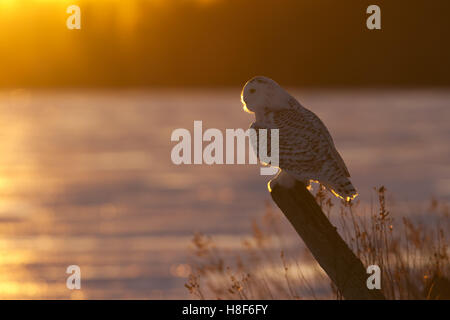 Snowy owl perched on a post in winter in Canada - Stock Photo