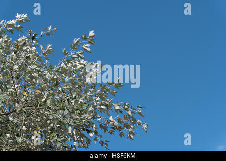 Leafs of the silverleaf poplar dance in the wind. L. Populus alba,. E. abele, silver poplar, silverleaf poplar, - Stock Photo