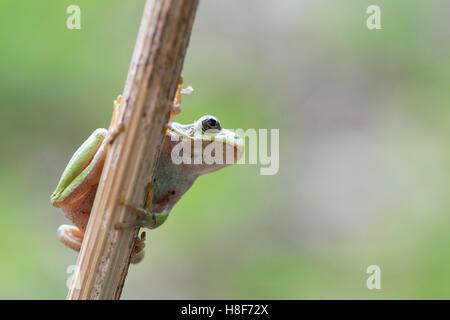 Tree frog (Hyla arborea) on stalk, Rhineland-Palatinate, Germany - Stock Photo