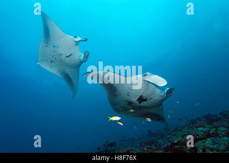 Reef manta rays (Manta alfredi) above coral with cleaner wrasses, Indian Ocean, Maldives - Stock Photo