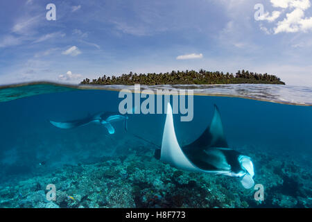 Reef manta rays (Manta alfredi) over coral reef, near water surface and island, Indian Ocean, Maldives - Stock Photo