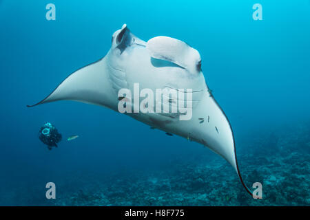 Diver observing reef manta ray (Manta alfredi), coral reef, Indian Ocean, Maldives - Stock Photo