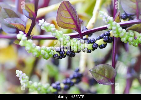 Ceylon Spinach plant on the farm - Stock Photo