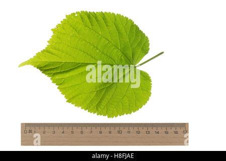 Sommer-Linde, Sommerlinde, Linde, Tilia platyphyllos, Tilia grandifolia, large-leaved lime, Large Leaved Lime, largeleaf - Stock Photo