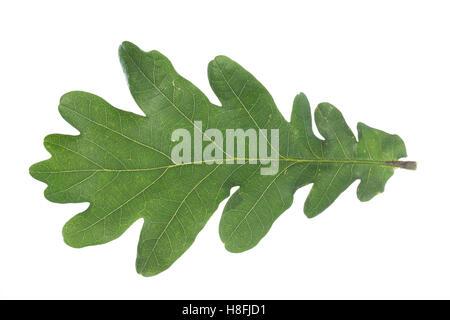 Stiel-Eiche, Eichen,Stieleiche, Eiche, Quercus robur, Quercus pedunculata, English Oak, pedunculate oak, Le chêne - Stock Photo