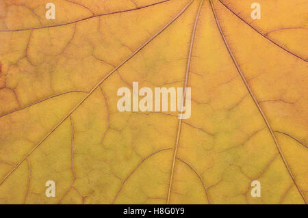 Fallen golden yellow maple leaf texture pattern, autumn fall grunge vintage herbarium abstract background, large - Stock Photo