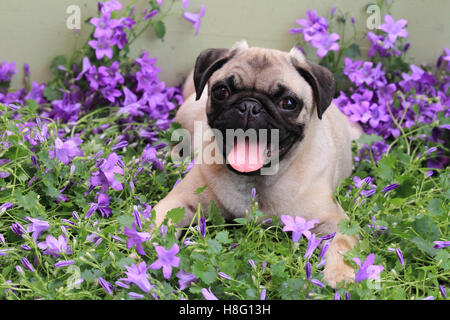 Pug lies between flowers, Canis lupus familiaris - Stock Photo