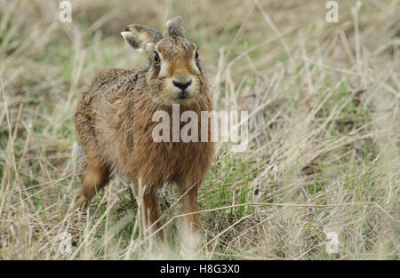 A Brown Hare (Lepus europaeus) standing in a field of long grass. - Stock Photo