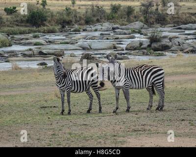 Three zebra on the banks of the Mara River in the northern Serengeti - Stock Photo