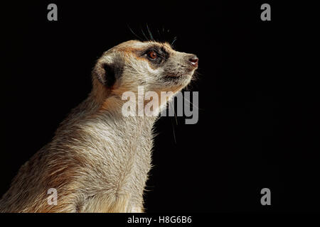 Portrait of an alert meerkat (Suricata suricatta) on black, South Africa - Stock Photo