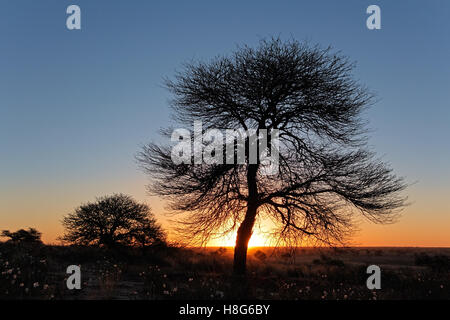 Sunset with silhouetted African thorn tree, Kalahari desert, South Africa - Stock Photo