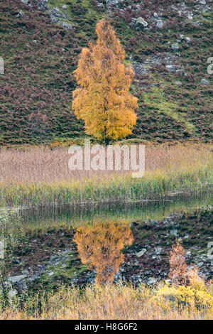The Autumn colours of a Silver Birch Tree, Betula pendula reflect in a loch in Scotland. - Stock Photo