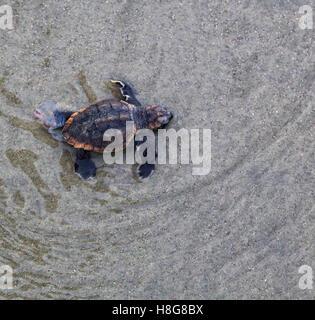 A lone loggerhead turtle hatchling crawls in shallow water on the beach at Kiawah Island, South Carolina. - Stock Photo