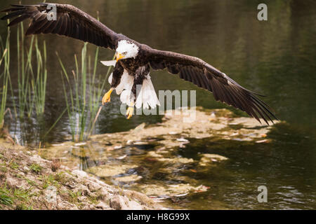 Sammy the American Bald Eagle flying over the pond - Stock Photo