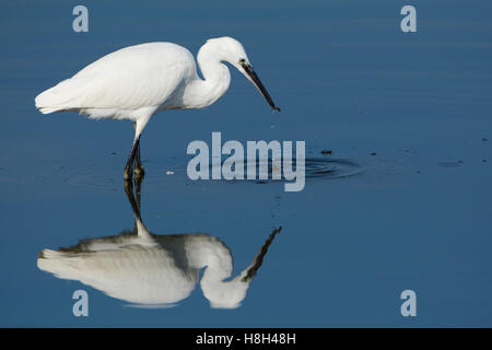 A Little Egret (Egretta garzetta) wading and feeding in shallow water, Rye Harbour Nature reserve, East Sussex, - Stock Photo