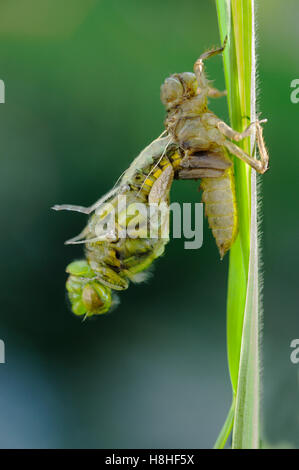 Dragonfly emerging from larval case - Stock Photo