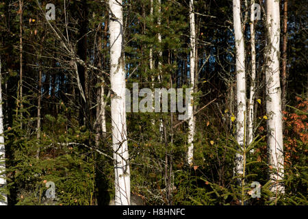 Mixed birch and pine forest in the north of Sweden showing silver birch trees in the foreground and dense pine in - Stock Photo