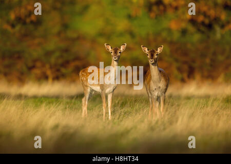 Two young Fallow deer - Stock Photo