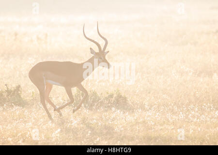 Impala Aepyceros melampus or Rooibok, male, running in the early morning light, Kenya Africa - Stock Photo