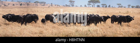 Distant view of a herd of African buffalo in the Ngorongoro Conservation Area Tanzania Africa - Stock Photo