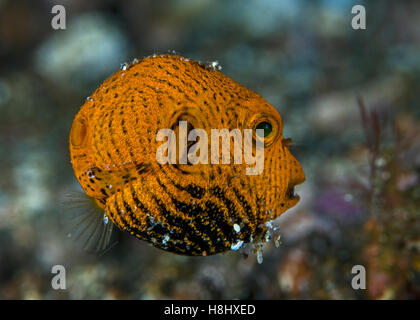 Close-up image of the juvenile starry pufferfish, a slow swimmer with vestigial fins. Lembeh Straits, Indonesia. - Stock Photo